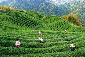 Весь процесс изготовления чая пуэр начинается со сбора листьев