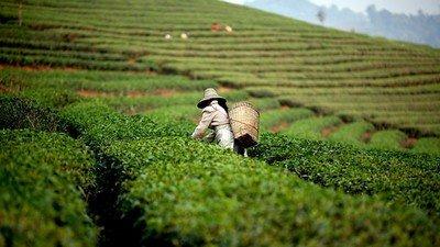 Плантация желтого чая в Китае