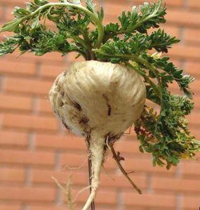 Корнеплод перуанской маки