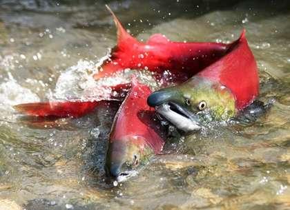 Морская и пресноводная рыба нерка